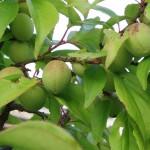 Abricotier du Japon